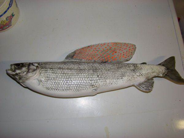 Grayling Reproduction